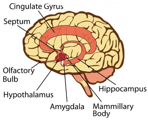 Limbic System Brain Basics (anatomy) one of a pair of small round bodies, located on the undersurface of the human brain, that act as a relay for impulses. brain basics